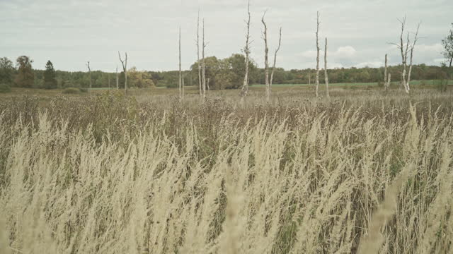dry grass on a swamp, with the death leafless trees in the backdrop, in the overcast autumn day. - reed grass family stock videos & royalty-free footage