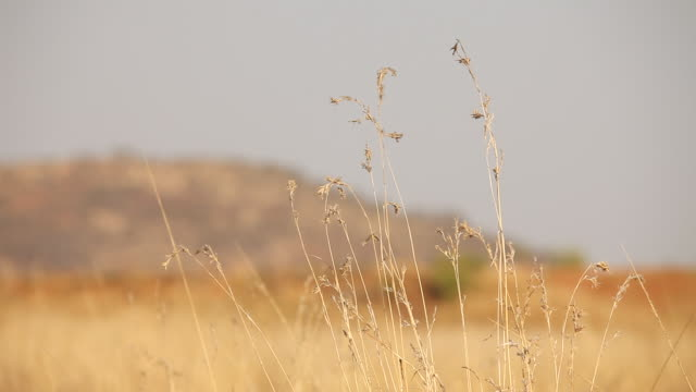 MS Dry grass with savanna / Pilansberg, North west, South Africa