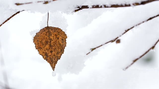 dry leaf with a frozen drop. winter in the forest. - twig stock videos & royalty-free footage