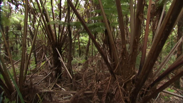 dry leaves cover a forest floor in kona, hawaii. - dicksonia antarctica stock videos & royalty-free footage