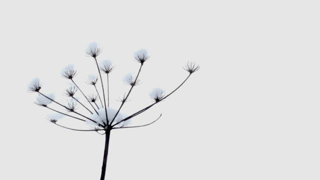 vidéos et rushes de plante sèche dans le vent avec de la neige - bouton de fleur