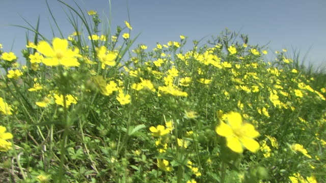 stockvideo's en b-roll-footage met dry rice paddy by field of yellow flowers - ranonkel