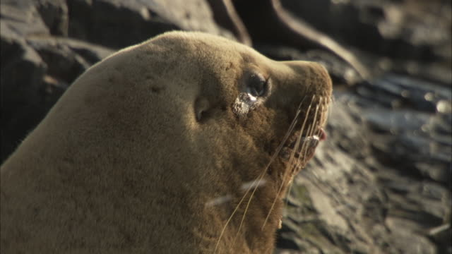 a dry sea lion raises its head to the sunlight. - seals stock videos and b-roll footage