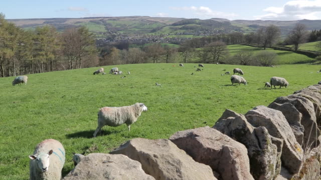 dry stone walls & sheep near hathersage, derbyshire, england, uk, europe - panning stock videos & royalty-free footage