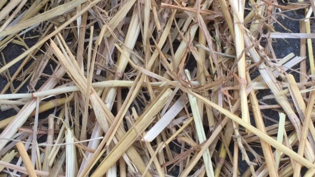 dry straw wheat - leftovers stock videos & royalty-free footage