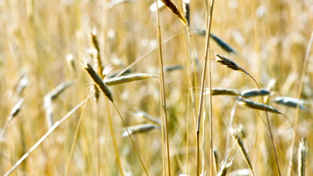 Dry Tall Grass Selective Focus