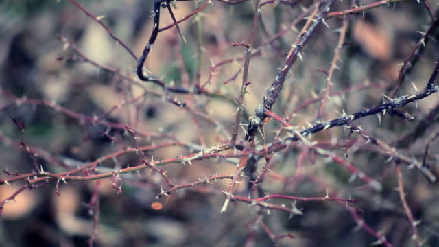 dry winter rose garden - thorn stock videos & royalty-free footage