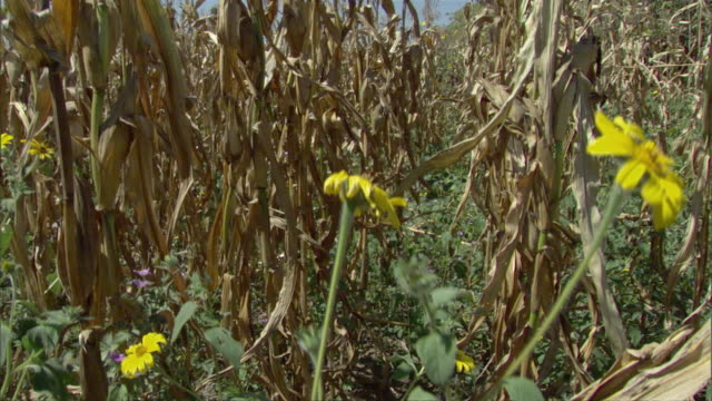 cs ha ms dry, yellowed stalks of corn in field with few yellow wildflowers / zinacantan, chiapas, mexico - ausgedörrt stock-videos und b-roll-filmmaterial