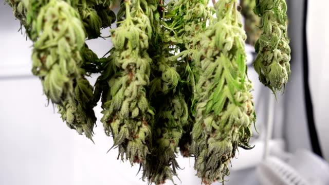 vídeos de stock, filmes e b-roll de drying cannabis in a grow tent - cannabis sativa