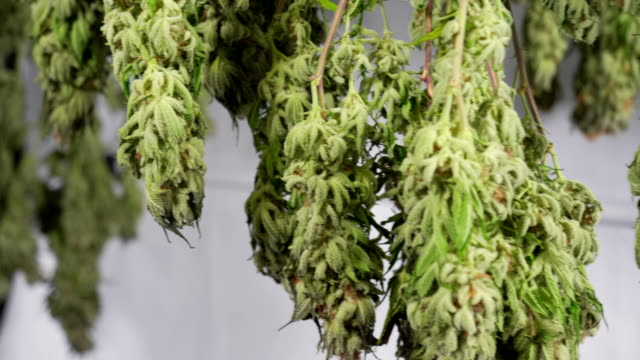 drying cannabis in a grow tent - drying stock videos & royalty-free footage