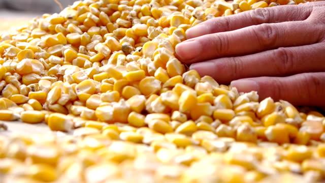 vídeos de stock, filmes e b-roll de secagem de milho no field.hd1080 - milho