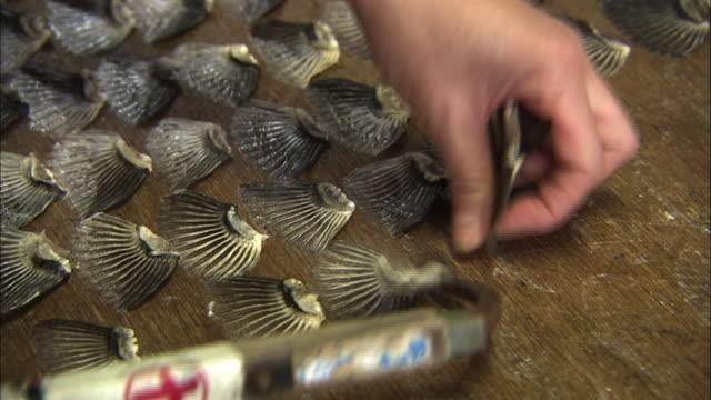 Drying Pufferfish Fins