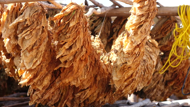 drying tobacco leaf - tobacco product stock videos & royalty-free footage