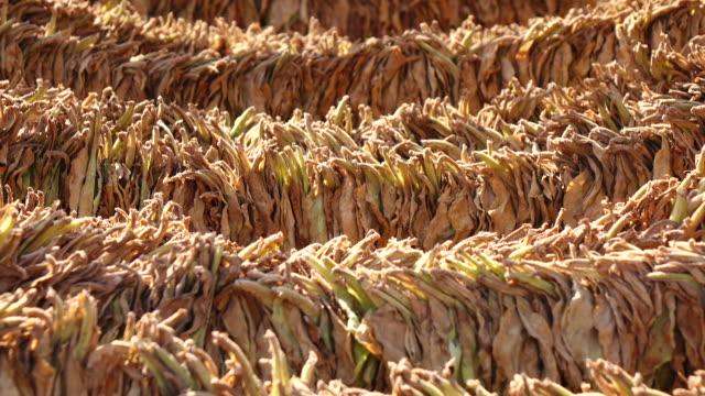 drying tobacco leaf - tobacco crop stock videos & royalty-free footage