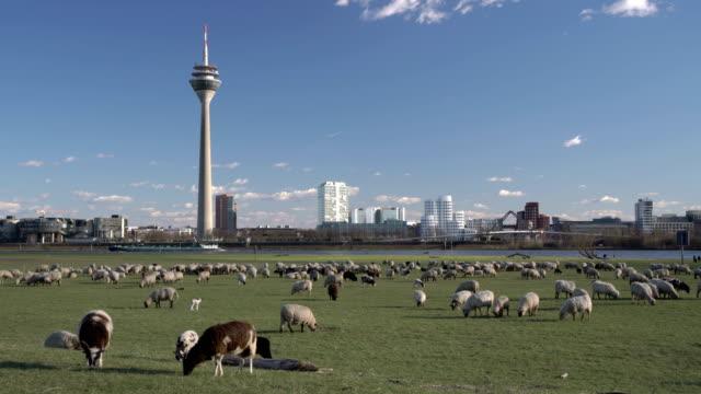 vídeos y material grabado en eventos de stock de düsseldorf skyline - rebaño de oveja