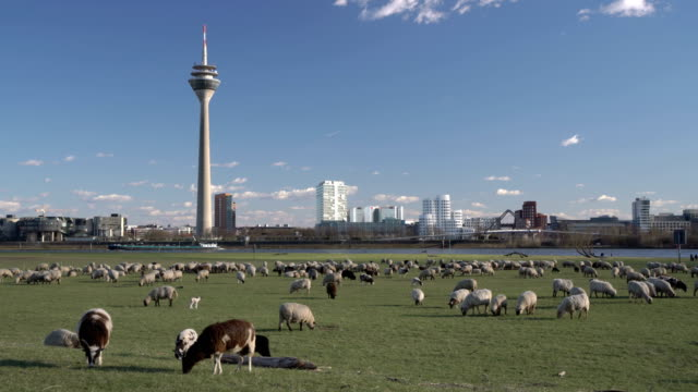 düsseldorf skyline - flock of sheep stock videos & royalty-free footage