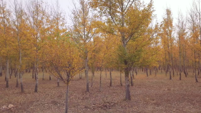 dsêwsêtree plantation in autumn, inner mongolia, china - dolly shot点の映像素材/bロール
