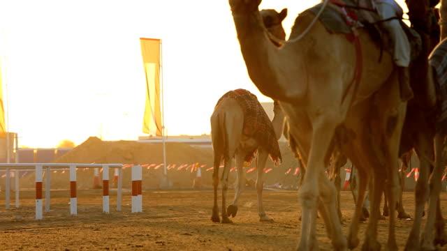Dubai UAE camels Dubai racetrack sport racing animal