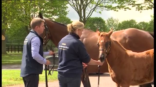duchess of cornwall visits national stud in newmarket uk suffolk camilla duchess of cornwall visits national stud in newmarket and inspects horses... - newmarket suffolk england stock videos and b-roll footage