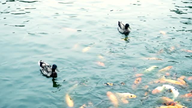 Anka och karp Koi fisk i en damm