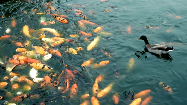 duck and carp koi fish in a pond - pond stock videos and b-roll footage