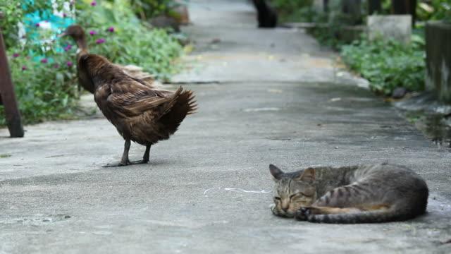 duck and cat - preening animal behavior stock videos & royalty-free footage