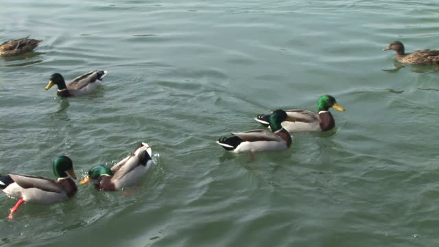 hd: duck competition - duck stock videos & royalty-free footage