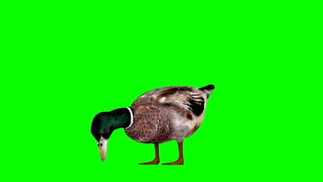 鴨緑画面 (単発) を食べる - 鳥 カモ点の映像素材/bロール