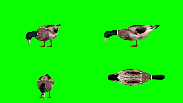 Duck Eating Green Screen (Loopable)