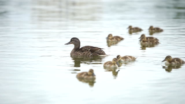 duck family floating on the water, washington dc, usa - pond stock videos & royalty-free footage