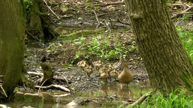 duck family in a creek - animal family stock videos and b-roll footage