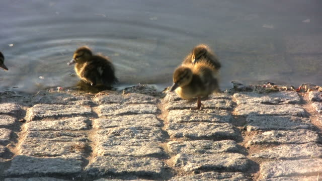stockvideo's en b-roll-footage met duck family (hd) - dierenfamilie