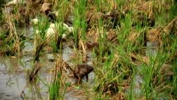 Duck feeding in rice field