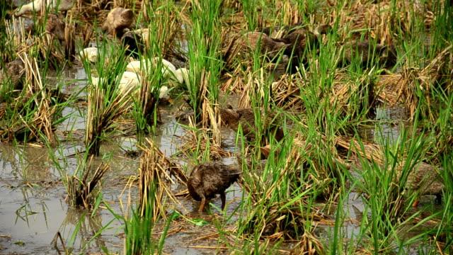 vidéos et rushes de nourrir les canards au champ de riz - canard oiseau aquatique