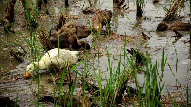 水田でアヒルの餌付け - 鳥 カモ点の映像素材/bロール