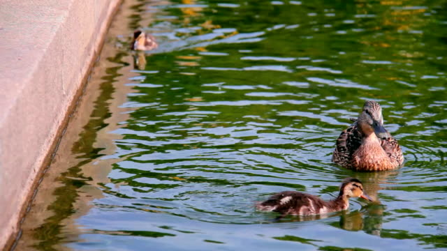 duck floating in a pond. - water bird stock videos & royalty-free footage