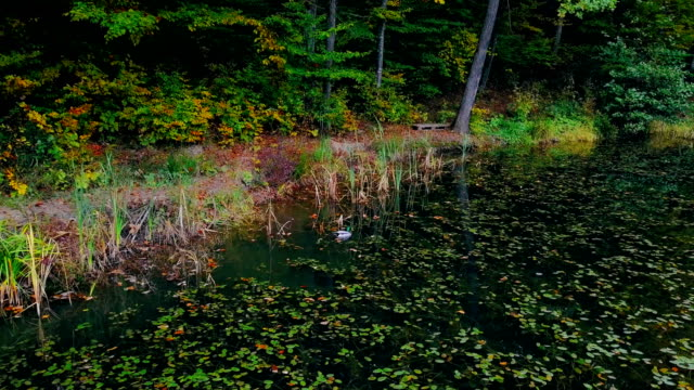 Duck floating in green water of forest lake covered with dry leaves