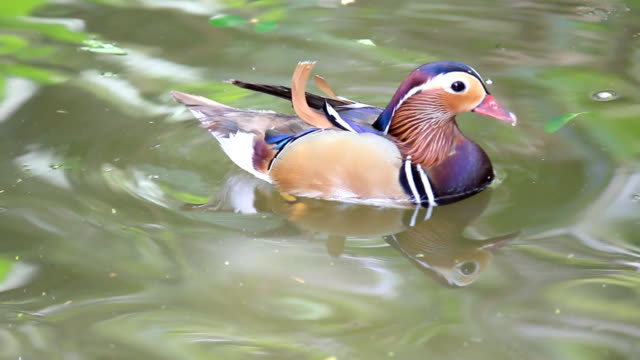 duck floating on the water - duck stock videos & royalty-free footage