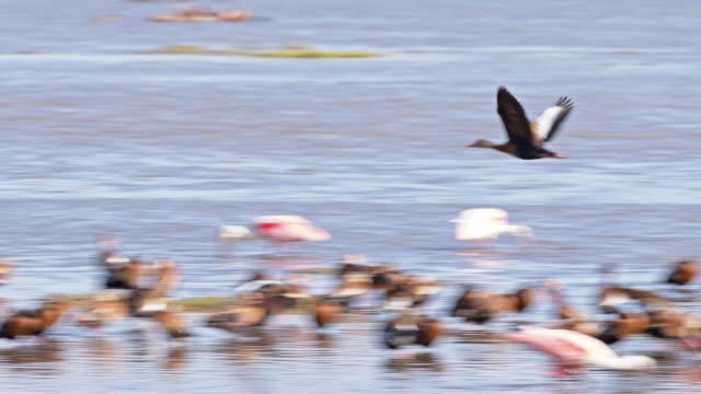 vidéos et rushes de slo mo canard vole au-dessus de trou d'eau - canard oiseau aquatique