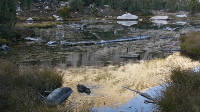pan duck foraging in wilderness mountain lake, reflections on water, kings canyon national park, sierra nevada mountains, california - area selvatica video stock e b–roll