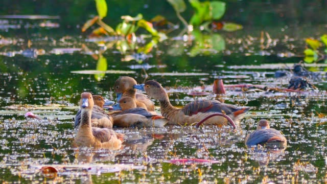 Duck group feathers clean itself on wetland.
