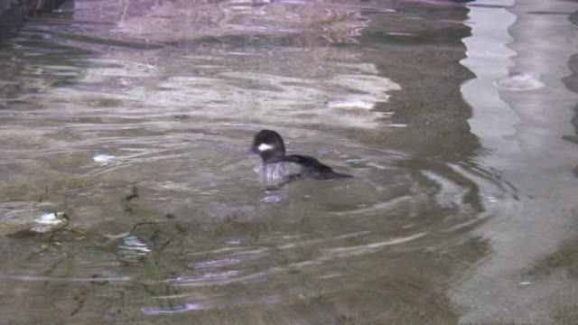 duck-hd 1080 i/60 - wasservogel stock-videos und b-roll-filmmaterial