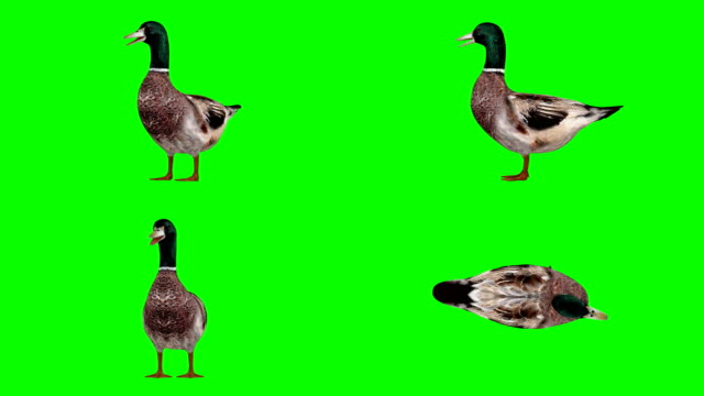 duck idle green screen (loopable) - duck stock videos & royalty-free footage