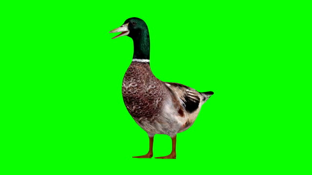 duck idle green screen (loopable) - anatra uccello acquatico video stock e b–roll