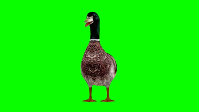 duck idle green screen (loopable) - duck stock videos and b-roll footage