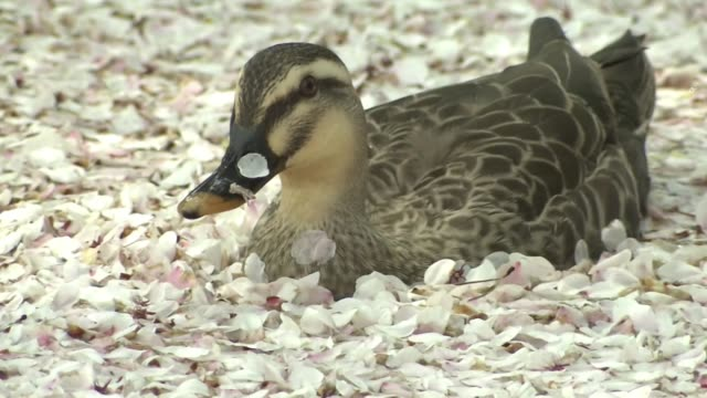 duck in petal filled castle moat, aomori, japan - moat stock videos & royalty-free footage