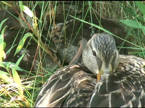 duck in the grass 4 - ntsc - named wilderness area stock videos & royalty-free footage