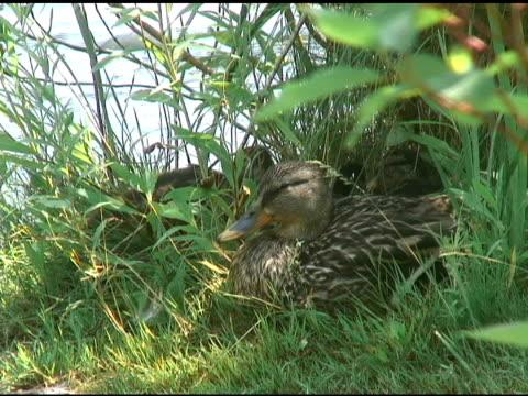 vídeos de stock e filmes b-roll de pato na grama-ntsc - grupo pequeno de animais