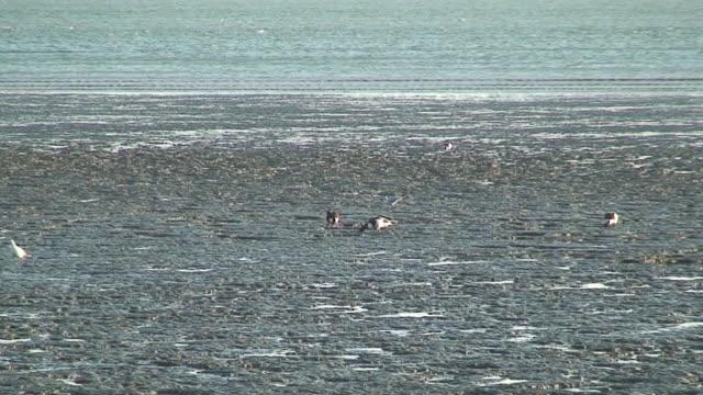 vídeos de stock, filmes e b-roll de pato na zona intertidal - grupo médio de animais