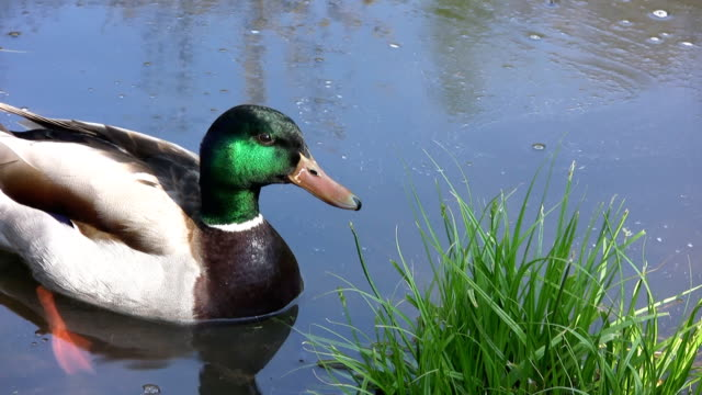 duck in the water (hd) - 2009 stock videos and b-roll footage